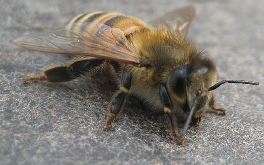 Pollen-nyttig mat från bikupan